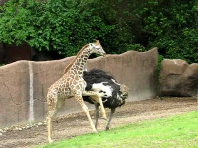 Ostrich and Baby Giraffe play Tag