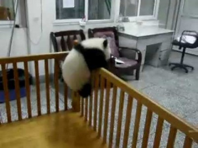 Baby Panda trying to Escape