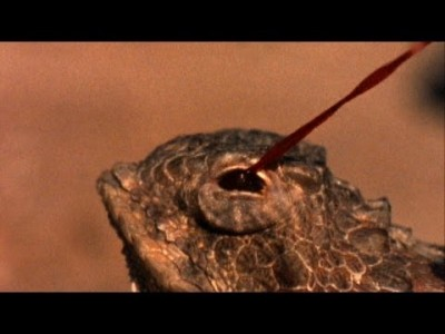 World's Weirdest: Blood Squirting Lizard
