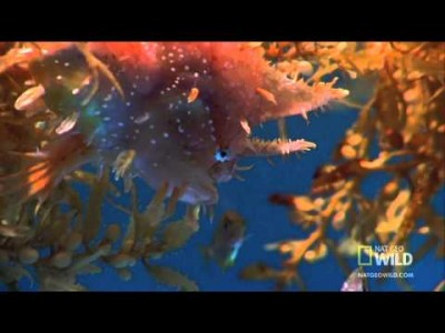The Sargassum Fish – Camouflaged Killer