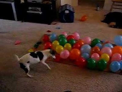 Dog vs Balloons – What Fun!
