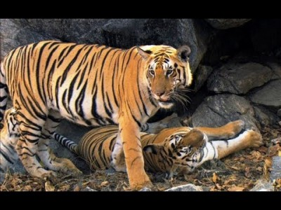 Tigers Cubs come off Age