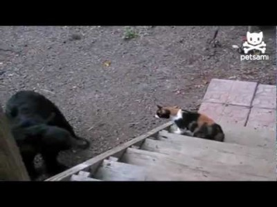 Fearless Cat shows Bear who the Boss is