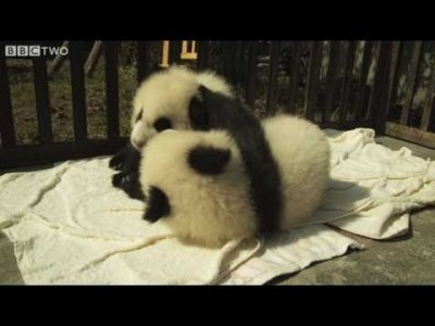 Two Cute Baby Pandas become Friends
