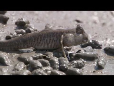 Amazing Animals – The Mudskipper