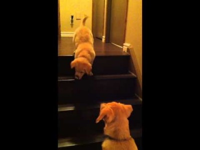 Dog Teaching his Pup to go Downstairs