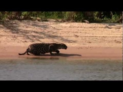 Amazing Jaguar Kill