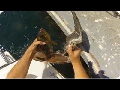 Pelican Party | A Fish's Lucky Day