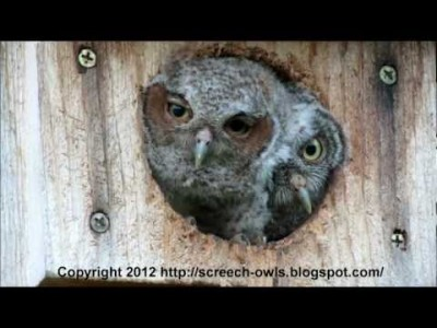 Baby Owl Pops out of his Home