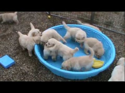 Golden Retriever Puppies really Mad when someone doesn't Fill their Pool