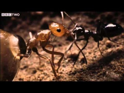 Ant Colony raids a Rival Nest – Natural World – Empire of the Desert Ants