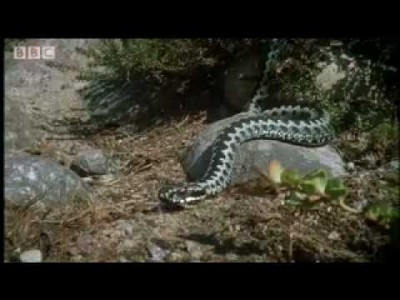 Amazing Arctic Snakes mating and fighting