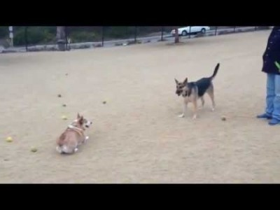 Corgnelius Wants to be Chased