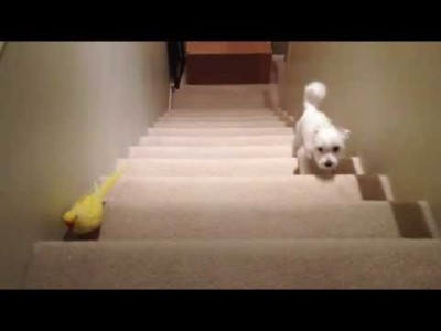 Parrot vs Dog Stairmaster