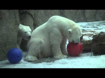Snow Day with Polar Bears and Amur Leopards