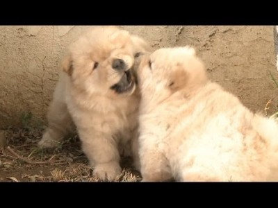 Chow Puppies Wrestling is the Best