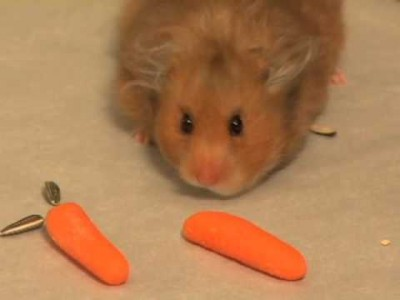 The Amazing Hamster Storing Food