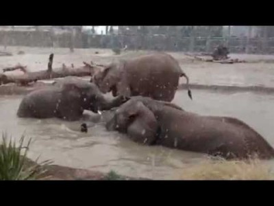 Elephants Swimming while it's Snowing