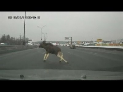 Fearless Elk dodges Traffic on Russian motorway… and Falls Over