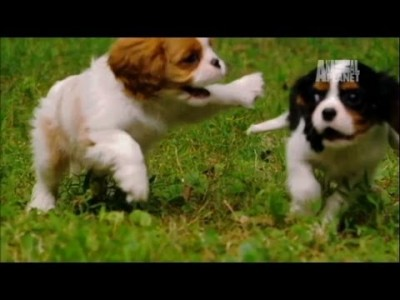 Super Cute Playful Spaniels