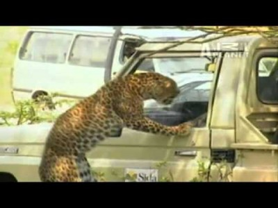 This is what happens when you Poke a Leopard with a Stick