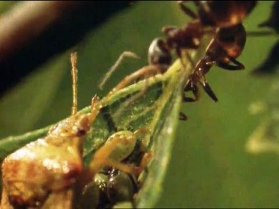 Chemical Attack: Ants vs Parent Bug
