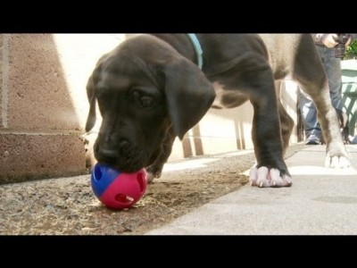 Great Dane Puppy Scared of Tiny Ball