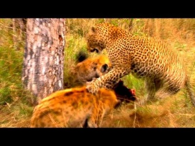 World's Deadliest – Hyenas Steal Leopard's Kill