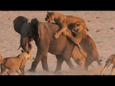 Young Elephant fends off Attack by 14 Lions