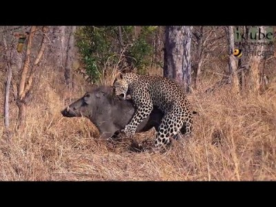 Leopard vs Warthog : The Bloody Struggle