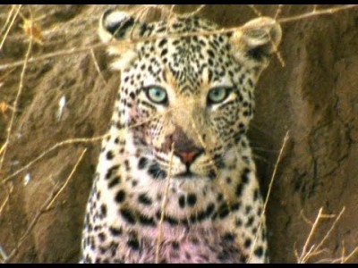 Leopard – Africa's most Elusive Cat