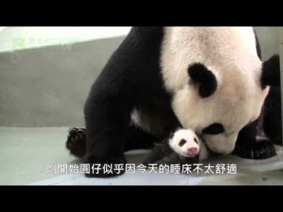 Giant Panda Baby Back to Mom's Embrace