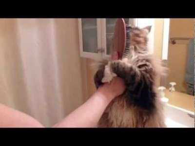 How to Brush your Hair – Kuzma the Cat