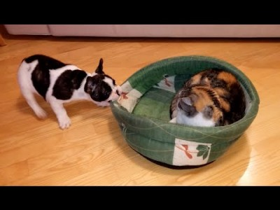 Puppy tries to reclaim Bed from Unimpressed Cat