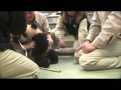 Baby Panda Diagnosed with acute Cuteness