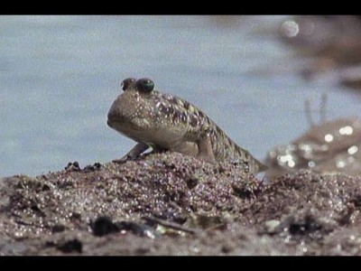 Mudskipper – The Fish that can Walk!