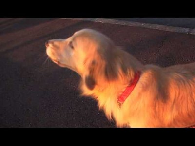 Golden Retriever imitates an Ambulance Siren