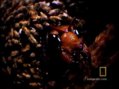 Japanese Giant Hornet vs Japanese Honey Bees