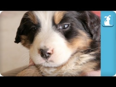 Cuddle with an Adorable Bernese Mountain Dog – Puppy Love