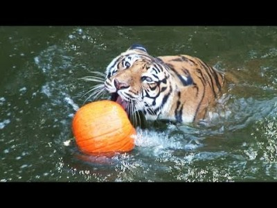 Tigers vs Pumpkins