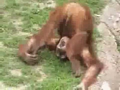 When an Orangutan Peed in his Own Mouth!
