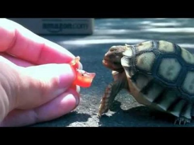Tortoise trying to Bite off a Tomato – Amazing!