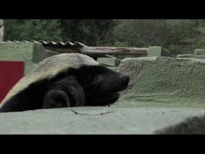 Honey Badgers – Masters of Mayhem