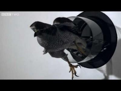 Goshawk Flies Through Tiny Spaces in Slow Motion!
