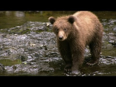 Grizzly Bear Cubs Practise Fishing – Deadly 60