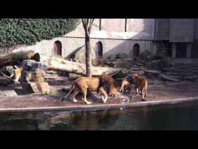 Ferocious Lioness Attack at the Artis Zoo