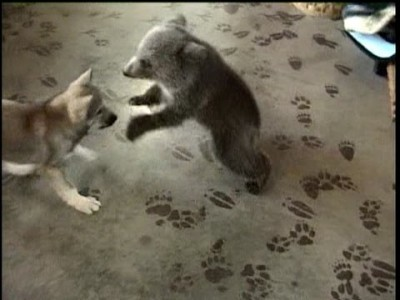 Grizly Bear Cub and Wolf Cub Playing