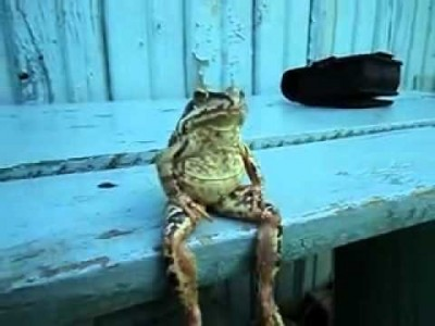 A Frog sitting on the Bench like a Human!