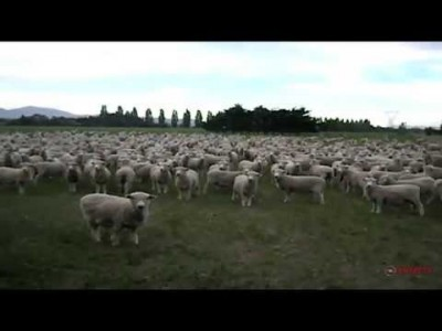 Sheep Protest – Freaking Hilarious!