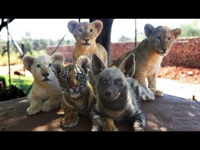 Baby Animals: Baby Lion, Baby Tiger & Baby Hyena Cubs